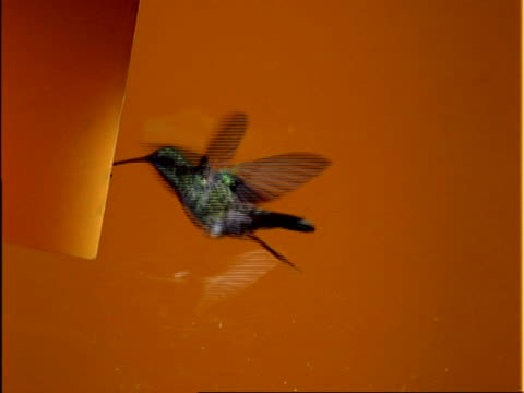 High Speed MCU Violet-eared Hummingbird flies to left of frame, hovers and feeds at feeder, orange background
