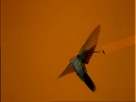 High Speed MCU Violet-eared Hummingbird hovers and feeds from feeder, orange background