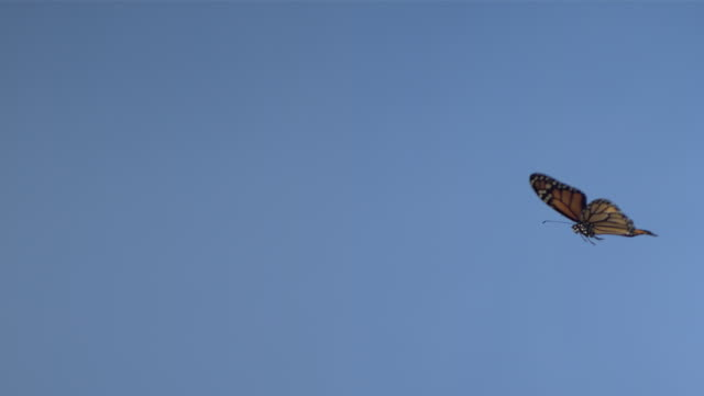 High Speed Monarch butterfly (Danaus plexippus) flying against blue screen