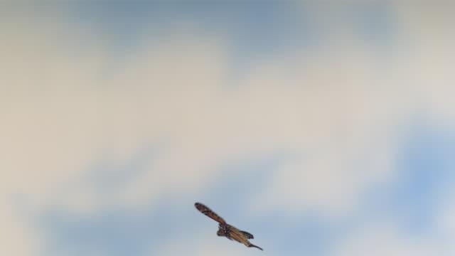 High Speed Monarch butterfly (Danaus plexippus) flying against sky background