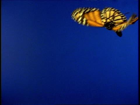 High Speed - CU Monarch butterfly (Danaus plexippus) in flight against blue screen