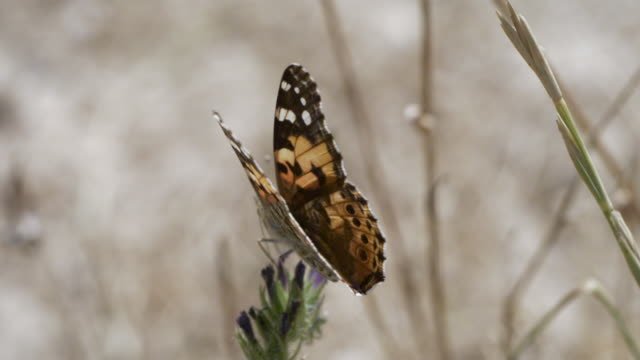 High Speed Painted lady (Vanessa cardui) butterfly takes off from vetch (Vicia sp.), close up, Spain.