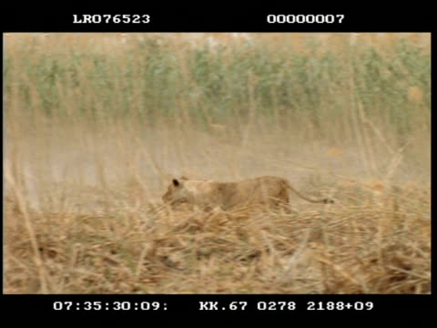 high speed - ms pan left, lioness running in long grass, chasing impala (aepyceros melampus) - stealth stock videos and b-roll footage