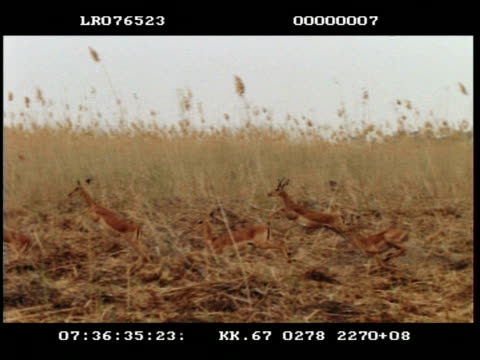 high speed - panning shot of group of impala (aepyceros melampus) running, long grass behind - 優美点の映像素材/bロール