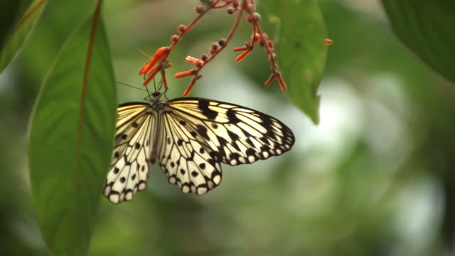 High speed Paper Kite butterfly (Idea leuconoe) feeding on nectar