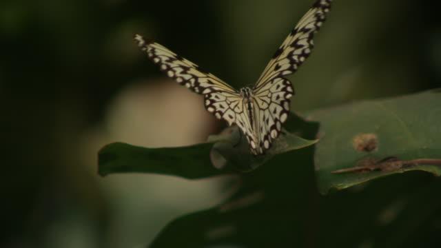 stockvideo's en b-roll-footage met high speed paper kite butterfly (idea leuconoe)  on leaf, flapping wings - vachtpatroon