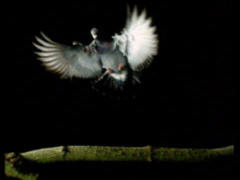 High Speed Pigeon - MS front view, bird lands on branch, black background