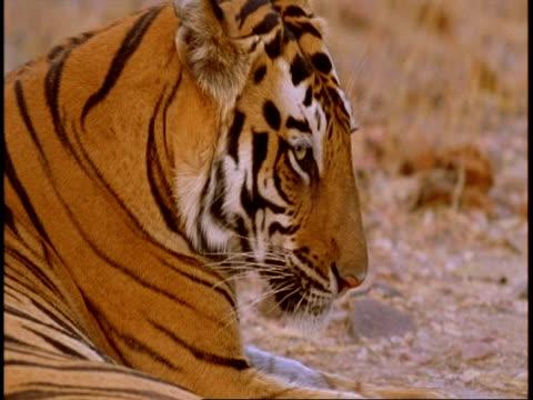 stockvideo's en b-roll-footage met cu high speed profile of royal bengal tiger head, lying down, bandhavgarh national park, india - vachtpatroon