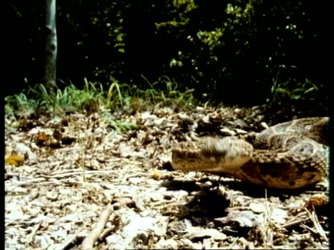 MS high speed Puff Adder, Bitis arietans, poised concertina like on leaf litter in aggressive stance, strikes to camera, Kenya
