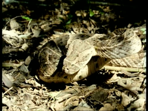 cu high speed puff adder, bitis arietans, poised concertina like on leaf litter in aggressive stance, strikes, kenya - 擬態点の映像素材/bロール