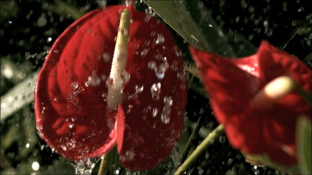 High speed rain drops falling on Red Anthurium, Hawaii