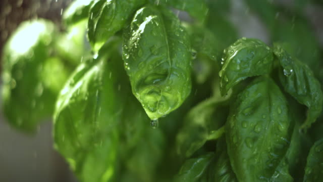 stockvideo's en b-roll-footage met high speed rain falling on basil (ocimum basilicum) plant. - water geven