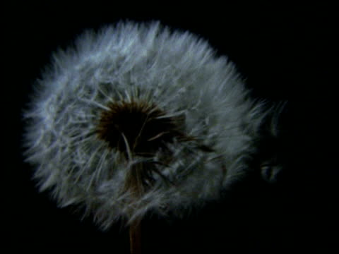 High Speed CU seed dispersal from Dandelion clock, black background