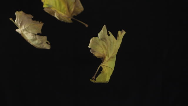 high speed several autumn leaves falling, black background - leaf stock videos & royalty-free footage