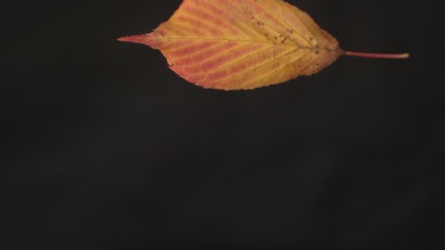 High speed Single Autumn leaf falling against black