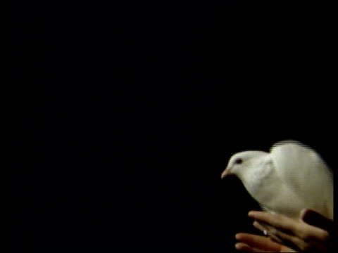 high speed single white dove taking off from hands, flies left out of frame, cu - colomba video stock e b–roll