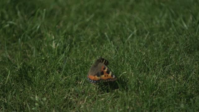 vidéos et rushes de high speed small tortoiseshell (aglais urticae) butterfly taking off from grass - pelouse