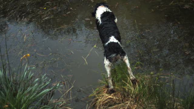 High Speed Spaniel dog (Canis lupus familiaris) jumping in to pond, creating splash; 1000fps, shutter speed 1/1000