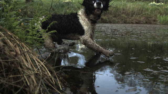high speed spaniel dog (canis lupus familiaris) jumping into pond, creating splash (1000fps, shutter speed 1/1000) - wet stock videos & royalty-free footage