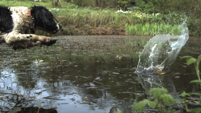 high speed spaniel dog (canis lupus familiaris) leaping in to pond after ball, creating splash (1000fps, shutter speed 1/1001) - spaniel stock videos and b-roll footage