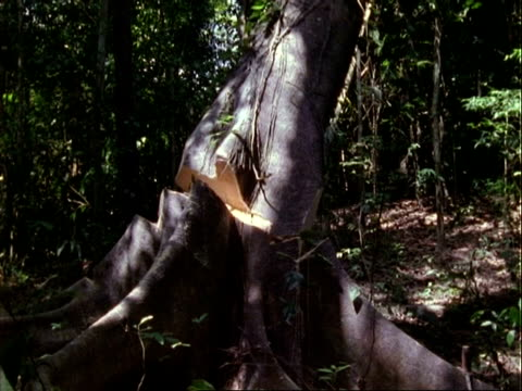CU High Speed tree fall, deforestation;; Panama;