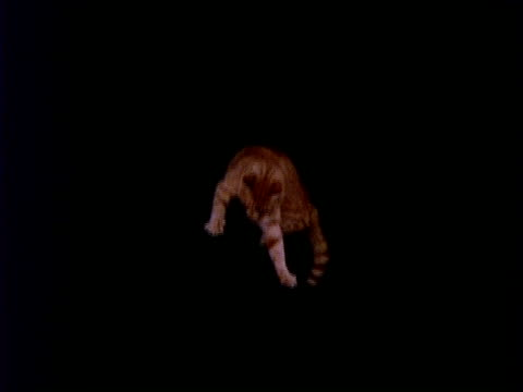 High Speed WA ginger cat falling top to bottom of frame, black background