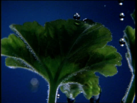 High Speed Water Droplets on Pelargonium Plant Leaves