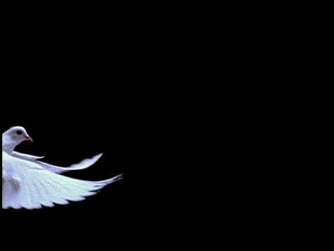 high speed - white dove flies left to right across frame, black background - colomba video stock e b–roll