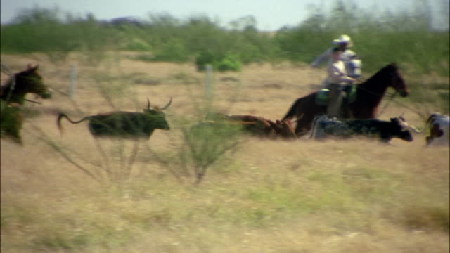 high speed wide shot pan cowboys on horseback chasing cattle/ cattle running/ edinburg, texas - rancher stock videos and b-roll footage