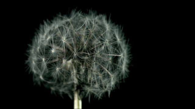 High speed wind blowing into dandelion seedhead
