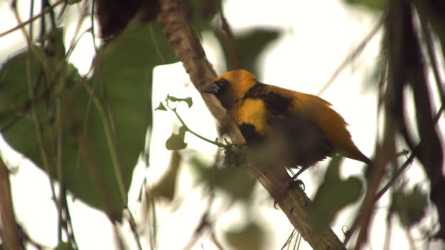 High speed Yellow-backed Oriole (Icterus chrysater) taking off from branch