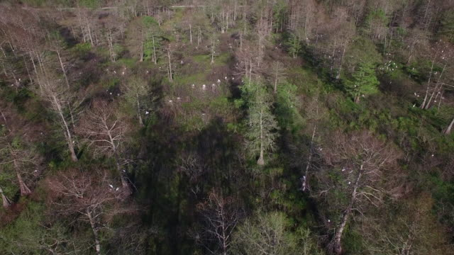 high to low on nesting birds - drone aerial 4k everglades, swamp bayou with wildlife alligator nesting ibis, anhinga, cormorant, snowy egret, spoonbill, blue heron, eagle, hawk, cypress tree 4k nature/wildlife/weather drone aerial video - bayou lafourche stock-videos und b-roll-filmmaterial