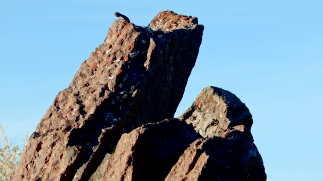 High up on rock Sagebrush Lizard Steens Mountain Near Malhuer Wildlife Refuge 7