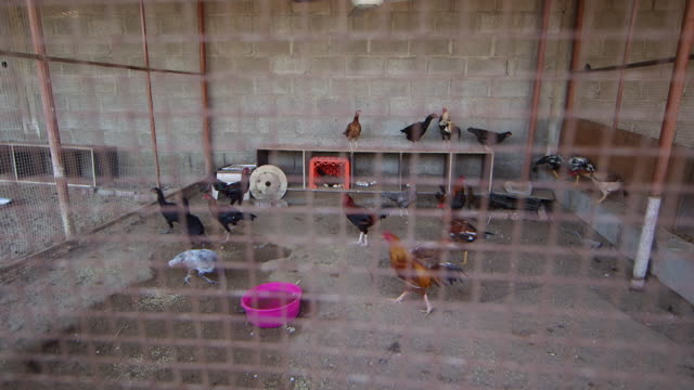 high-angle view of chickens in a coop. - chicken coop stock videos & royalty-free footage