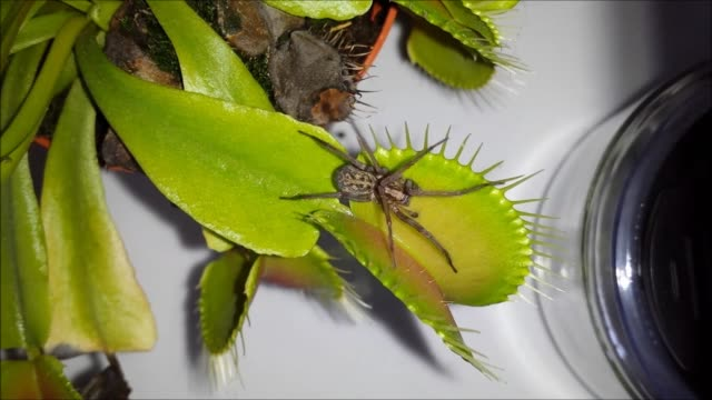 highdefinition footage featuring a large spider being caught in a venus flytrap the trap is closed shut if its trigger hairs are stimulated twice... - eaten stock videos & royalty-free footage