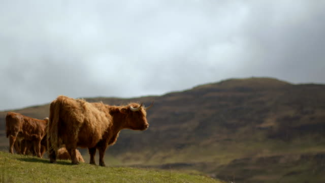 highland cattle, isle of mull - hebrides stock videos & royalty-free footage