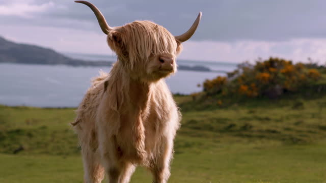 highland cattle, isle of mull - scotland stock videos & royalty-free footage