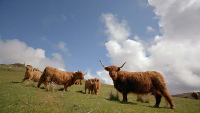 highland cattle, isle of mull - schottisches hochland stock-videos und b-roll-filmmaterial