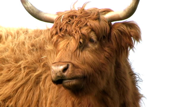 highland cattle - scottish highlands stock videos & royalty-free footage