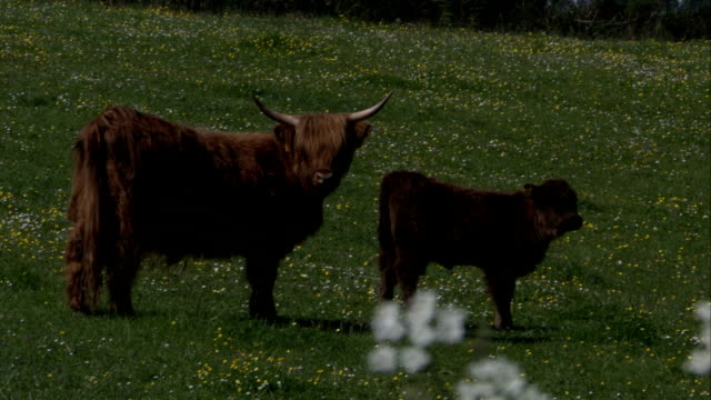 A Highland cow and her calf stand facing down-slope in a green field. Available in HD.