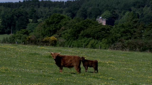 A Highland cow grazes with her calf in a green field with a forested hill in the background. Available in HD.