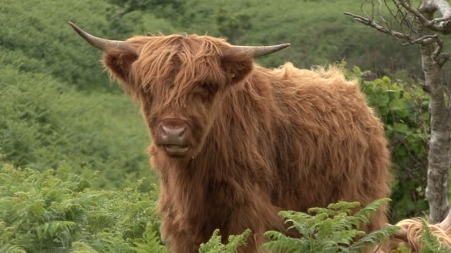 highland cow (bos taurus) - scottish highlands stock videos and b-roll footage