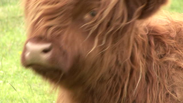 highland cow (bos taurus) - scottish highlands stock videos & royalty-free footage