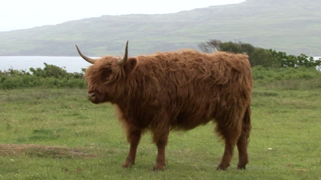 vídeos y material grabado en eventos de stock de highland vaca (bos taurus - isla de mull