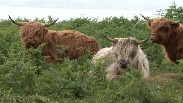 highland cows (bos taurus) - hebrides stock videos and b-roll footage