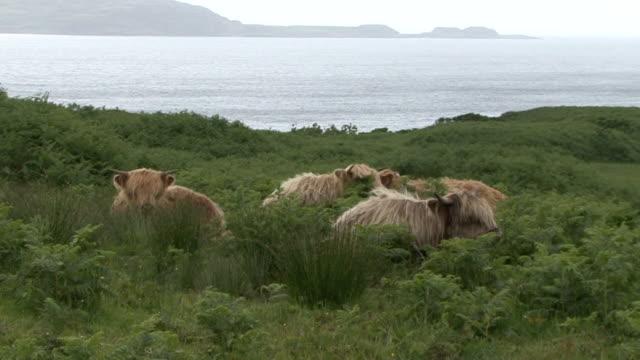 vídeos de stock e filmes b-roll de highland vacas (bos taurus - ilha mull