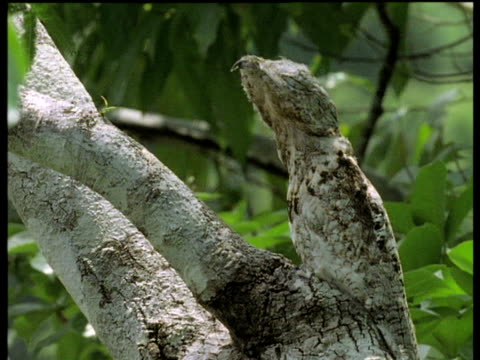 Highly camouflaged potoo mimics a branch stump, Brazil