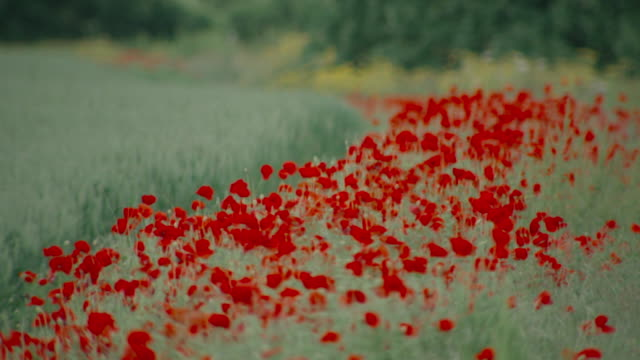 Highly-contrasted red field poppies (Papaver rhoeas) sway in a gentle breeze, UK.