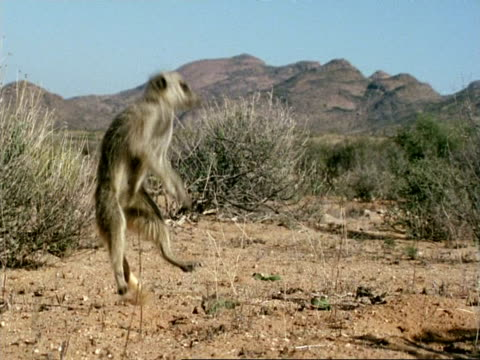 highspeed meerkat, suricata suricatta standing, runs away, namaqualand, south africa - danger stock videos & royalty-free footage