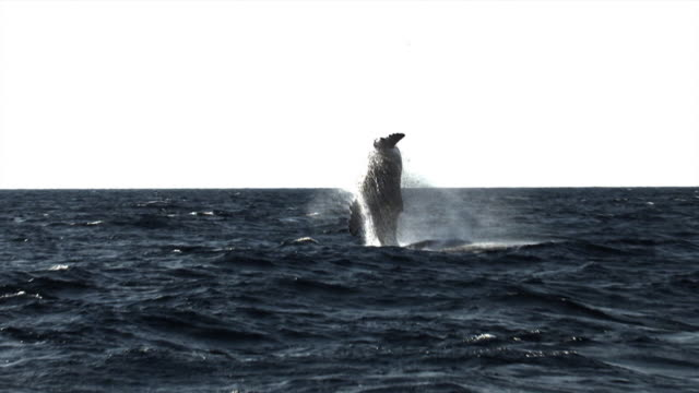 highspeed shot of a humpback whale breaching - animals breaching stock videos & royalty-free footage